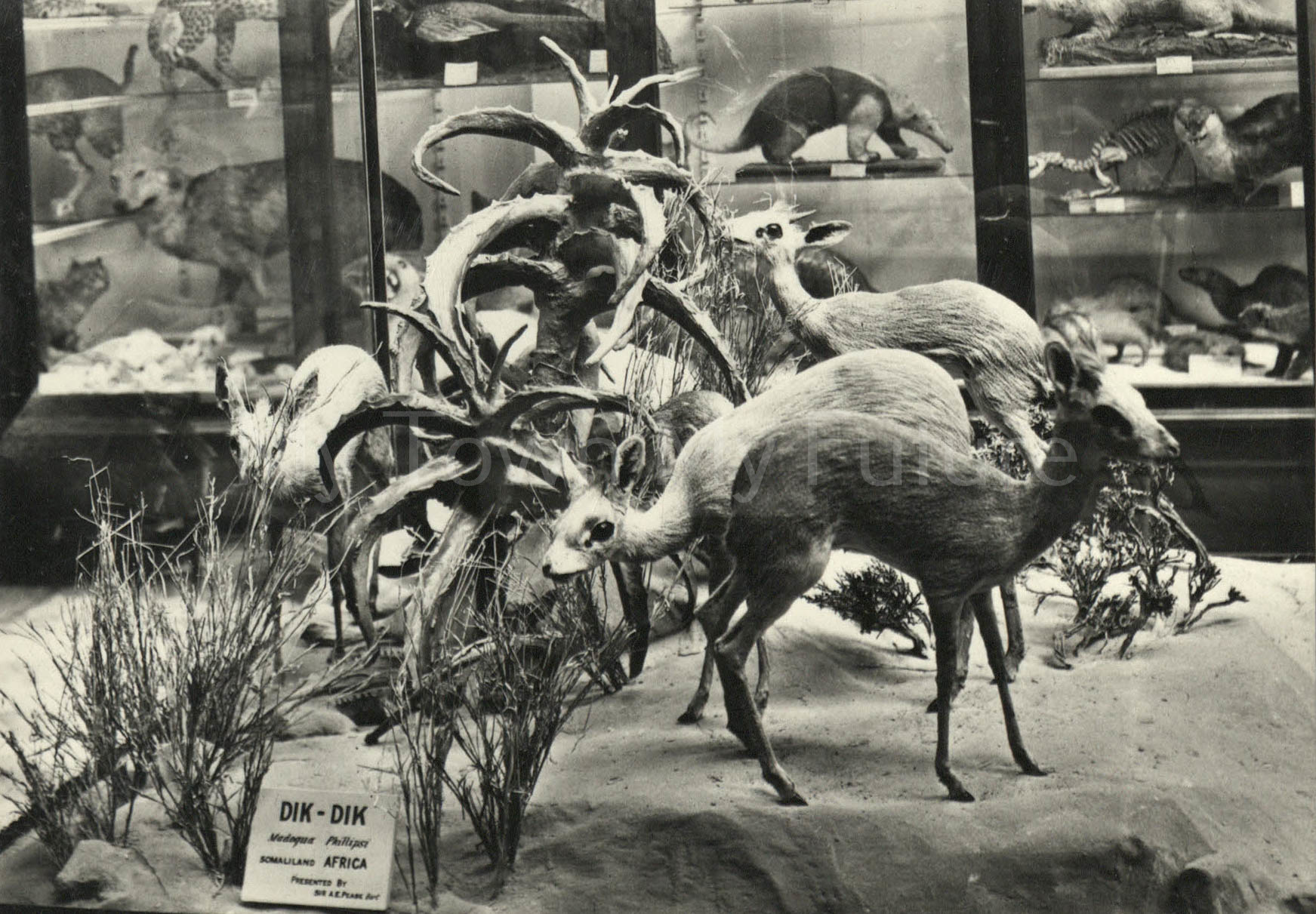 Dorman Museum Animal Room, English Life Publications